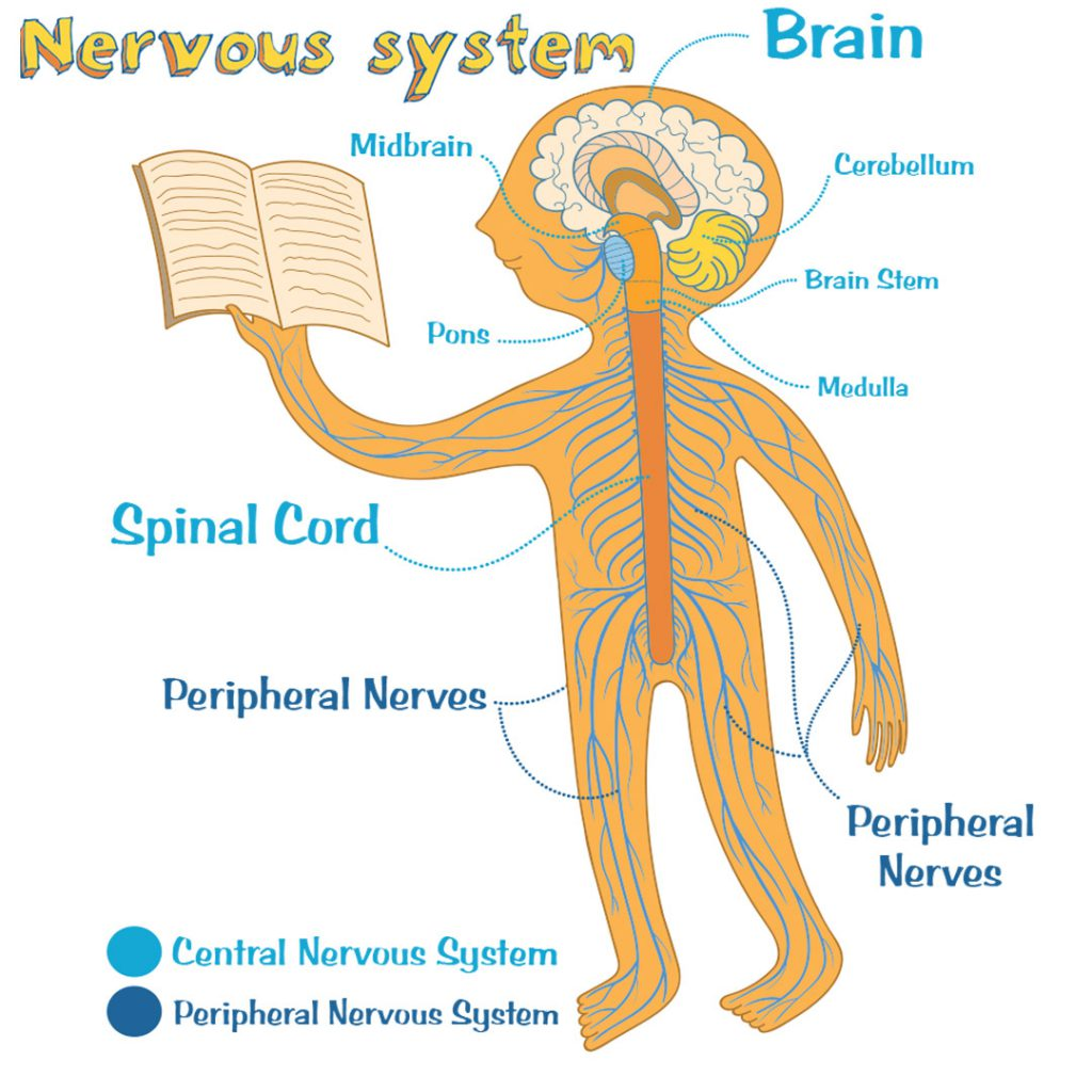 Nerve health and the nervous system.