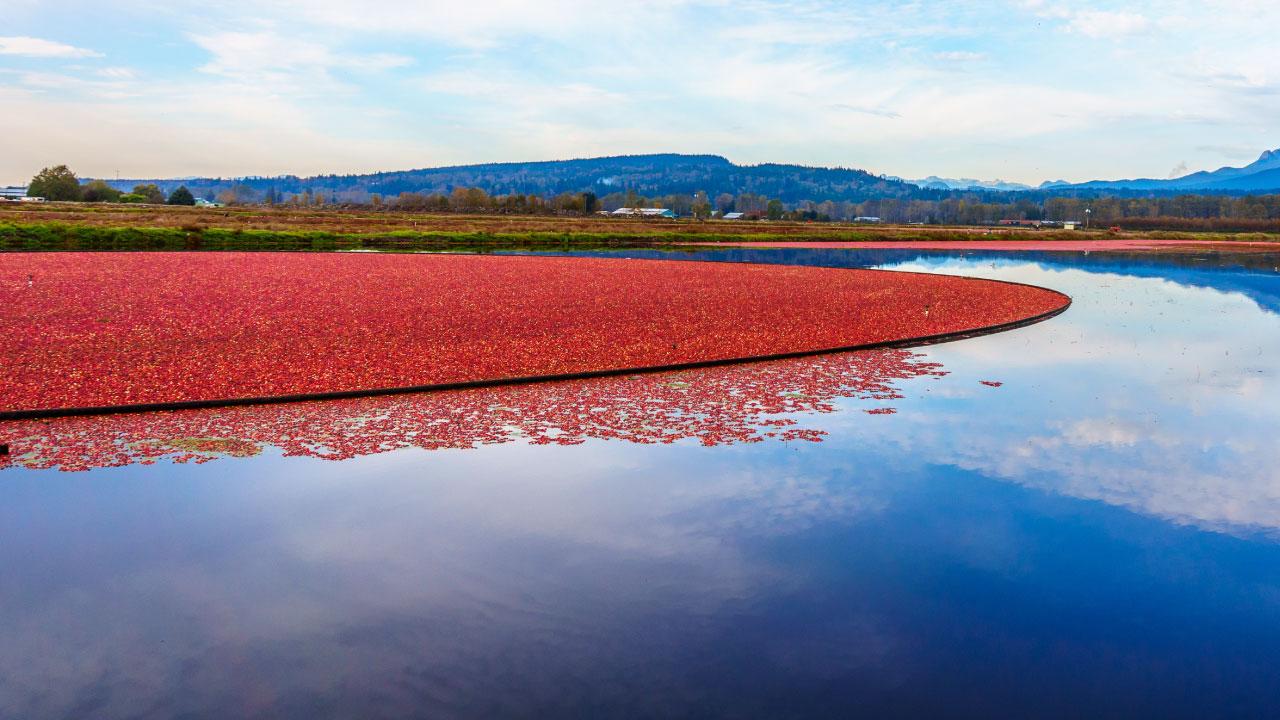 cranberry bog near mountain and lake