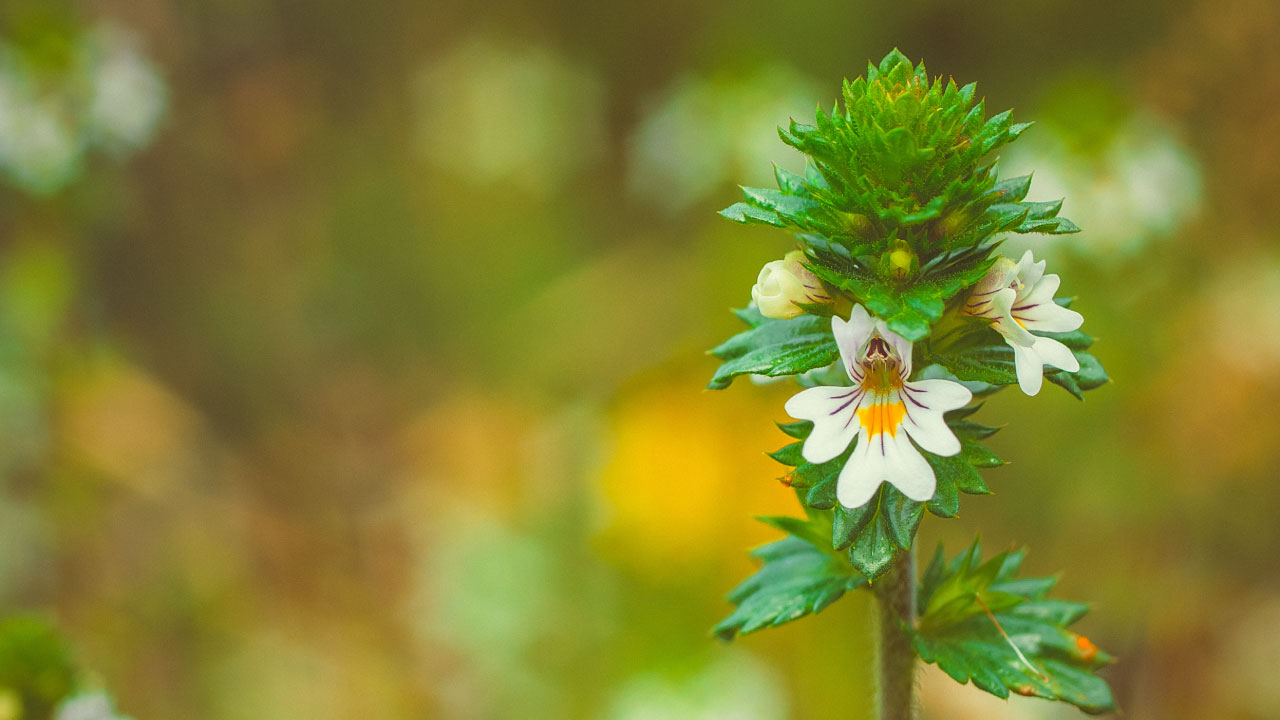 eyebright herb chilling in the field