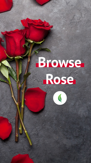 Browse Rose