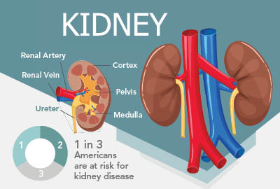 1 in 3 Americans are at risk for kidney disease. A healthy kidney system has several functions.
