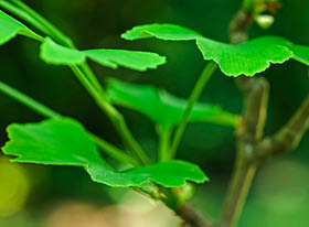 Ginkgo Biloba nutritional supplements